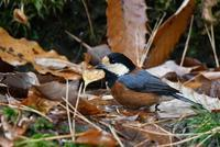 水浴び大好きなヤマガラ・・・ - 鳥と共に日々是好日