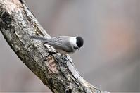 Willow Tit - AVES