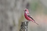 Pallas's Rosefinch - AVES