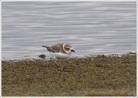 水辺のシロチドリ - 野鳥の素顔 <野鳥と日々の出来事>