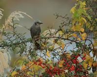 秋から冬へ:ヒヨドリ - Life with Birds 3