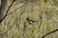 ■「もうちょっと」の鳥写真18.12.22(シジュウカラ、コゲラ、アオジ) - 舞岡公園の自然2