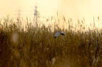 渡良瀬遊水地1 - Bird Healing