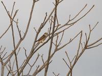 探せば・・・コチョウゲンボウ。 - 鳥見んGOO!(とりみんぐー!)野鳥との出逢い