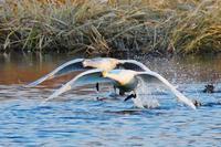 ダイナミック!コハクチョウの発進・・・大きな翼と盛大な水飛沫&真剣な眼差しに惹かれる♪ - 『私のデジタル写真眼』
