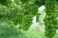 今年を振り返るシャインマスカット - ~葡萄と田舎時間~ 西田葡萄園のブログ