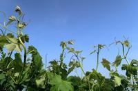 今年を振り返るブラックビート、ゴルビー - ~葡萄と田舎時間~ 西田葡萄園のブログ