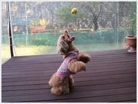 お久しぶりのモコちゃん、ボールキャッチ、健在だったよ(v´∀'*) イエーイ♪ - さくらおばちゃんの趣味悠遊