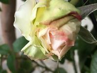 薔薇ボレロと猫 - いととはり