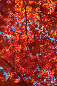 クリスマスの紅葉 - ひつじ雲日記