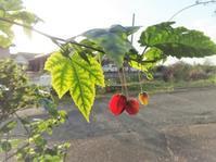 チロリアンランプ - だんご虫の花