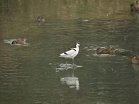 ソリハシセイタカシギ - Y's bird