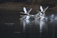 美しい飛翔~オオハクチョウVol.3~ - Eye Love Photo*