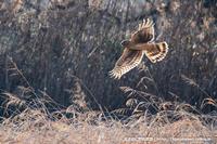 ハイイロチュウヒ雌の狩り - 気ままに野鳥観察