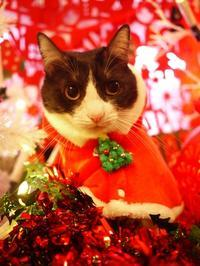 クリスマス猫 みるきぃ編。 - ゆきねこ猫家族