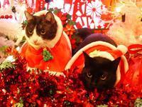 クリスマス猫 みるきぃめりぃぽぴんず編。 - ゆきねこ猫家族