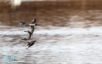 小さな沼を飛翔、乱れず飛ぶ見事な編隊飛翔だ、数回して多々良沼に帰飛した。誠 - 皇 昇