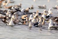 海にはご馳走がいっぱいpart2 - 綺麗な野鳥たち