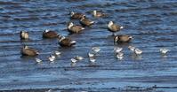 ツルシギ・ハマシギの飛翔を撮る - 私の鳥撮り散歩