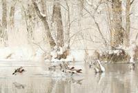 ヒドリガモ - 北の野鳥たち