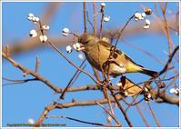 栴檀の実とカワラヒワ - 野鳥の素顔 <野鳥と日々の出来事>