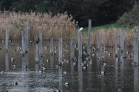 ★ホシハジロが増えてきました!・・・先週末の鳥類園(2018.12.22~24) - 葛西臨海公園・鳥類園Ⅱ