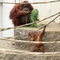 生後10カ月のポポちゃんはスマトラオランウータンの女の子(市川市動植物園) - 旅プラスの日記