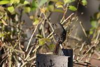 ジョウビタキ♀ - 私の鳥撮り散歩