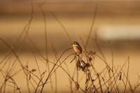 モズを撮る(目的の鳥は出ないので) - 私の鳥撮り散歩