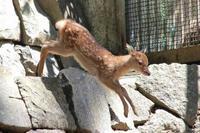 初夏のちびっ子祭~ヤクシカ、トナカイ、ニホンザルの子供たち(多摩動物公園) - 続々・動物園ありマス。
