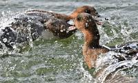 水飛沫のヒドリガモさん - 鳥と共に日々是好日