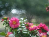 山茶花、冬でも頑張っている - 光の音色を聞きながら Ⅳ