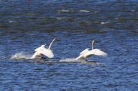 湿原の池のオオハクチョウ(2) - 銀狐の鳥見