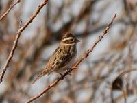 手賀沼遊歩道の小鳥たち(カシラダカ、アオジ、カワラヒワ、その他) - 花と葉っぱ