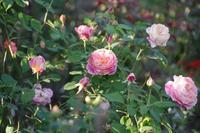 小さなローズガーデンの12か月・・10月 - 季節の風を追いかけて