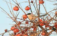 オナガの朝食 - barbersanの野鳥観察