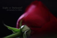 Rose rouge - Light or Darkness?