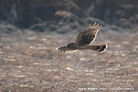 獲物を狙って徘徊するハイイロチュウヒ雌 - 気ままに野鳥観察