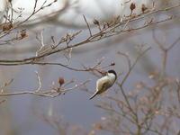コガラ - 『彩の国ピンボケ野鳥写真館』