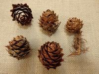 『木の実図鑑3(コウヨウザン・ハンノキ・メタセコイア・アメリカフウ・タイワンフウ・ラクウショウ)』 - 自然風の自然風だより