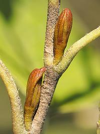 ハンノキの冬芽の観察 - 自然観察大学ブログ