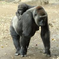 久しぶりに登場のリキ君と、家族たち(上野動物園) - 旅プラスの日記