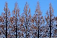 風の川の、メタセコイア - ひつじ雲日記