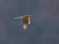 ハイタカ - 『彩の国ピンボケ野鳥写真館』