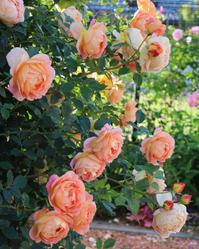 う、美しい。。。レディオブシャーロット誘引2018 - my small garden~sugar plum~