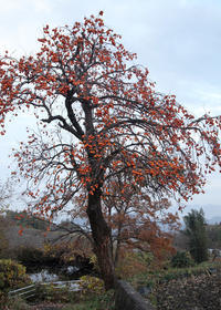 御所市西北窪柿の木 - 魅せられて大和路
