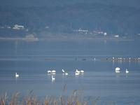 白鳥の湖 - 清治の花便り