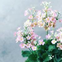 プリムラ ウィンティー - さにべるスタッフblog     -Sunny Day's Garden-