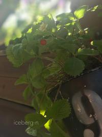 ワイルドストロベリーとお知らせ - 小さな庭 2