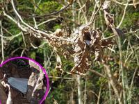 越冬中ウラギンシジミ - 秩父の蝶